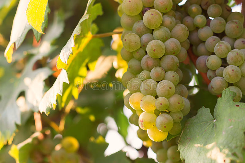 Bunches of green wine grapes growing in vineyard. Close up view of fresh green wine grape. Bunches of green wine grapes hanging on royalty free stock photos