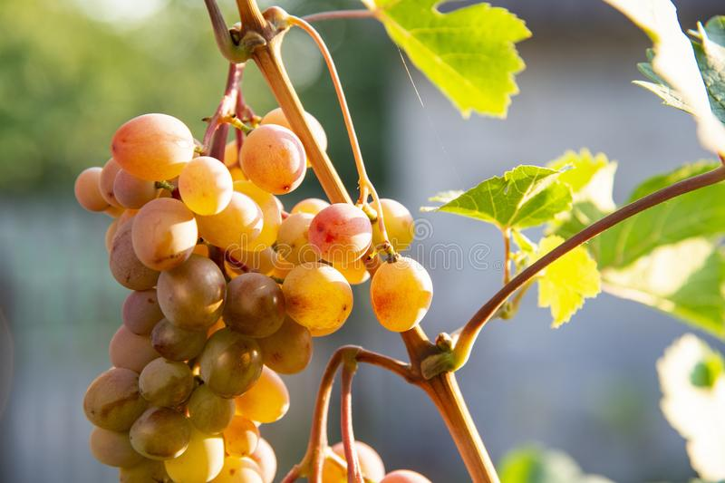 Bunches of large grapes hang on the vine in the garden in the open air with a pleasant warm light. stock photos