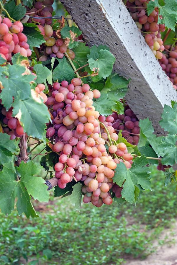 Bunches of large pink grapes on a background of green leaves. royalty free stock photography
