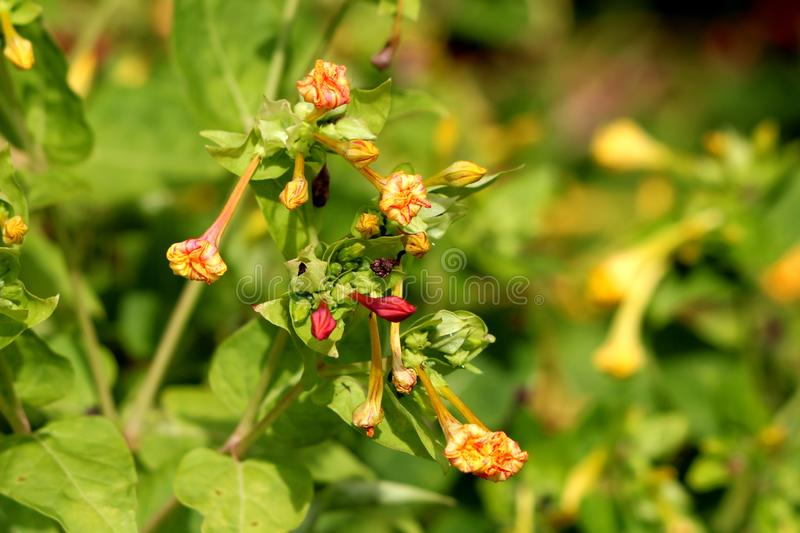 Bunches of Marvel of Peru or Mirabilis jalapa long lived plants with closed tubular orange and pink flowers with oblong leaves. Bunches of Marvel of Peru or royalty free stock photo