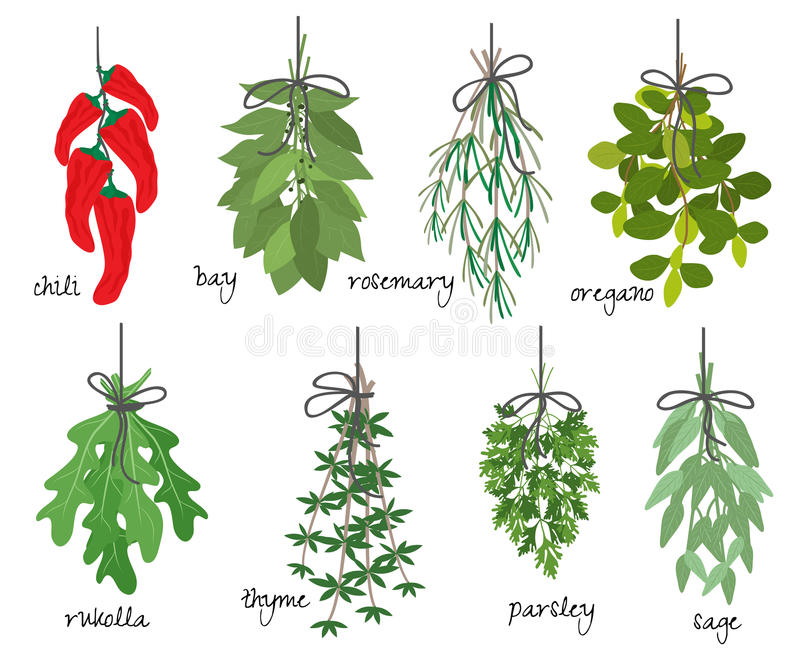 Bunches of medicinal aromatic herbs. Vector illustration with eight different bunches of medicinal aromatic herbs with fresh red cayenne chilli peppers bay vector illustration