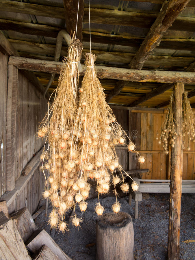 Bunches of Nigella seed pods hanging in barn royalty free stock photos