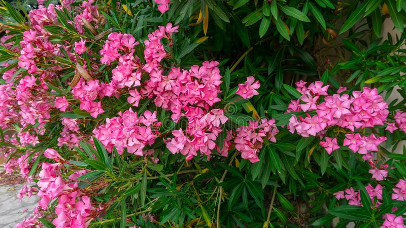 Bunches of pink petals of fragrant Sweet Oleander flower or Rose Bay, flowering plant blossom on green leaves background in summer. Season stock photography