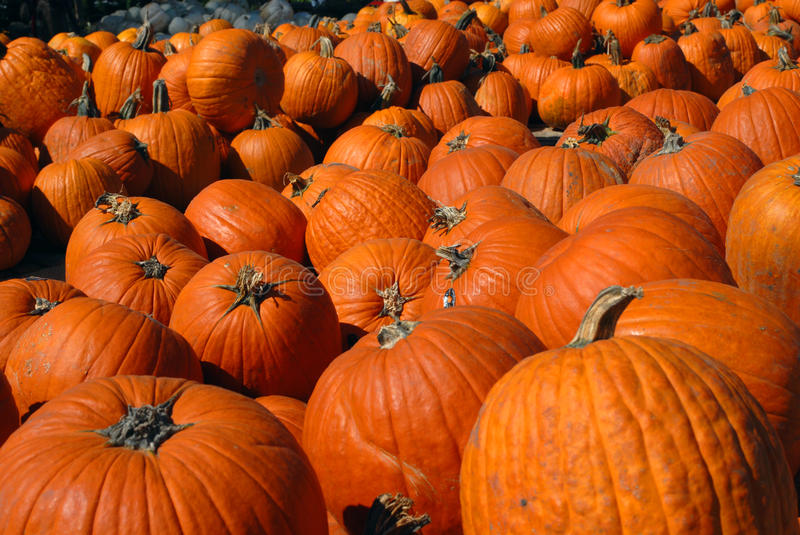 Download Bunches of Pumpkins stock photo. Image of farmers, squash - 11455778