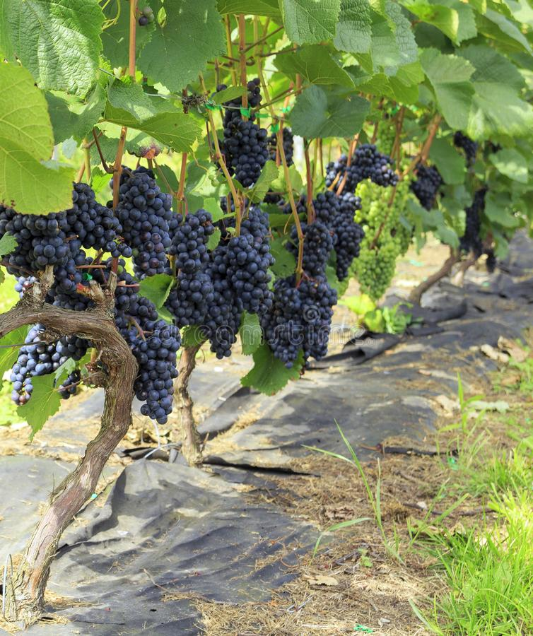 Bunches of purple grapes on the vine in the vineyard. Fresh ripe juicy grapes stock photos