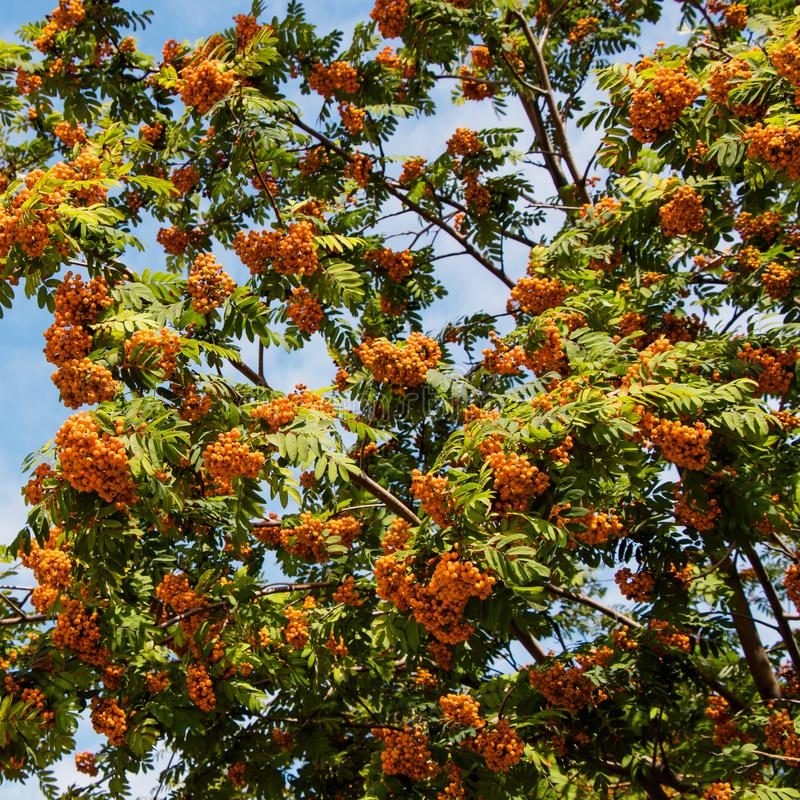 Bunches of red mountain ash. Background. Rowan bush branches with orange berries on a background of blue sky. Background stock photos