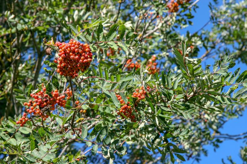 Bunches of red and orange ripe rowan on a tree. royalty free stock images