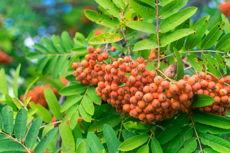 Bunches of red rowan berries on a branch with green leaves stock photo