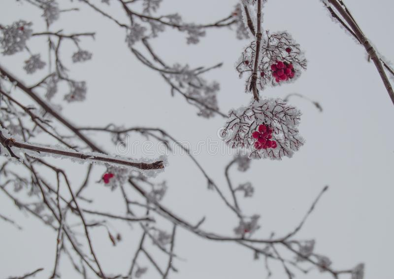 Bunches of red Rowan berries on snow-covered branches in a winter Park outdoors against a cloudy sky. Tree, beauty, berry, bouquet, christmas, forest, cold stock images