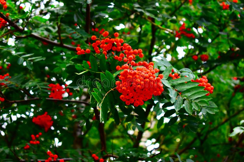 Bunches of red Rowan. On the tree stock photos