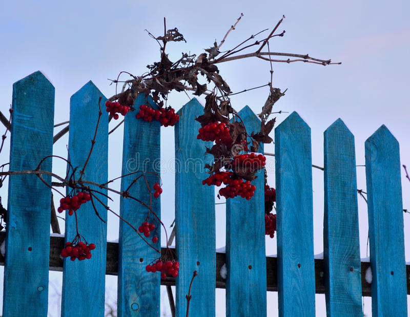Bunches red rowan on a wooden fence. Bunches of red mountain ash hanging over a wooden fence on a blue color royalty free stock photography