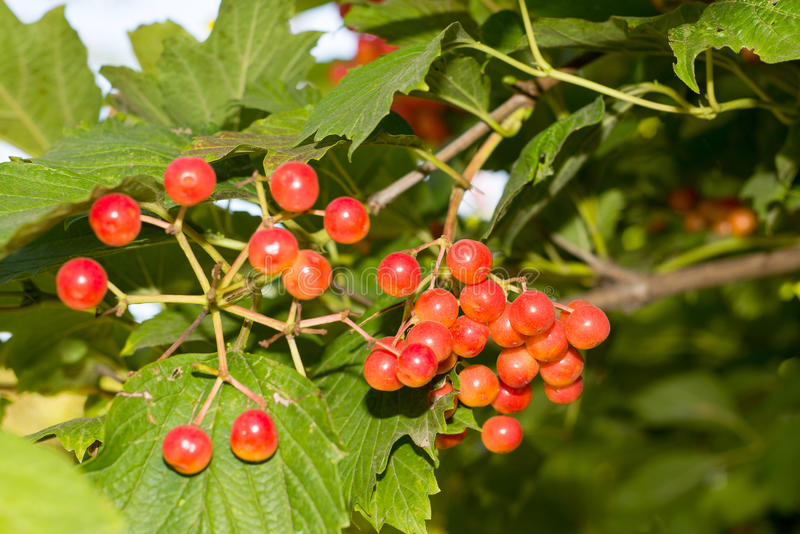 Bunches of red viburnum on a background of blue sky, royalty free stock photo