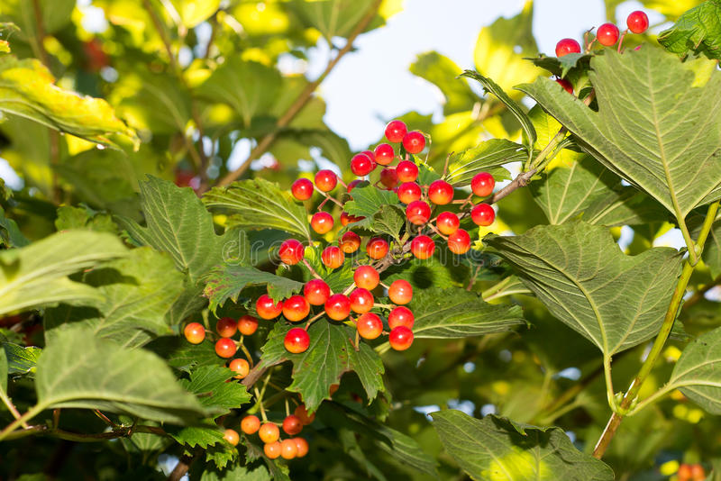Bunches of red viburnum on a background of blue sky, royalty free stock photos