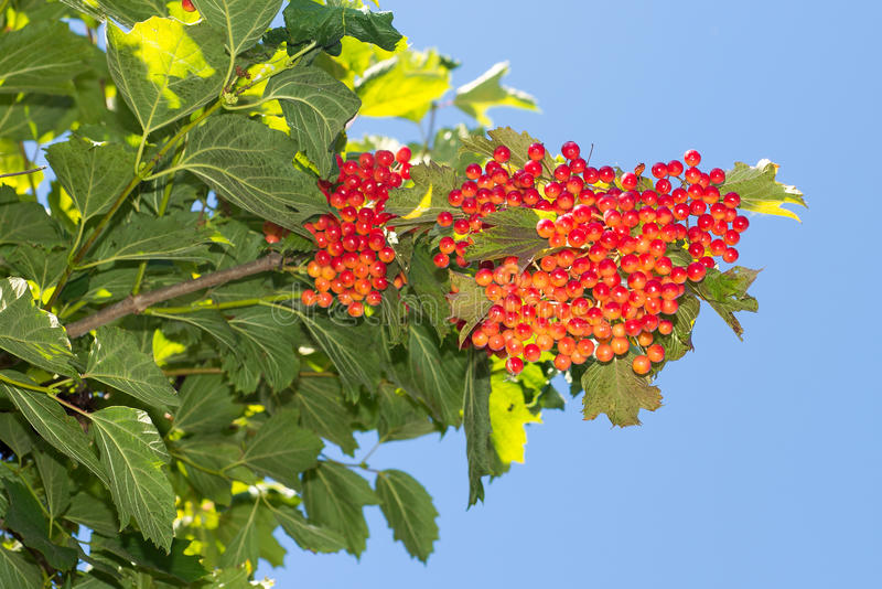 Bunches of red viburnum on a background of blue sky, gardening and taking care of a bush viburnum, Viburnum blank recipes for wint stock photos