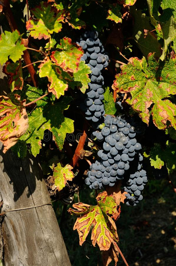 Bunches of red wine grapes hang from a vine, chianti, tuscany stock photo