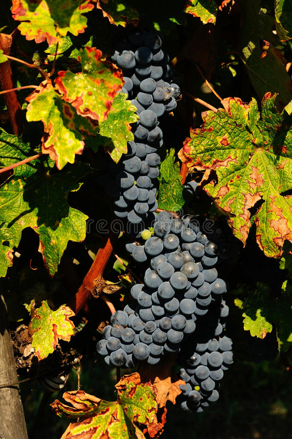 Bunches of red wine grapes hang from a vine, chianti, tuscany stock image