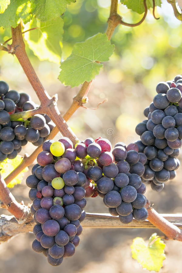 Bunches of Red Wine Grapes Hanging on Grapevine