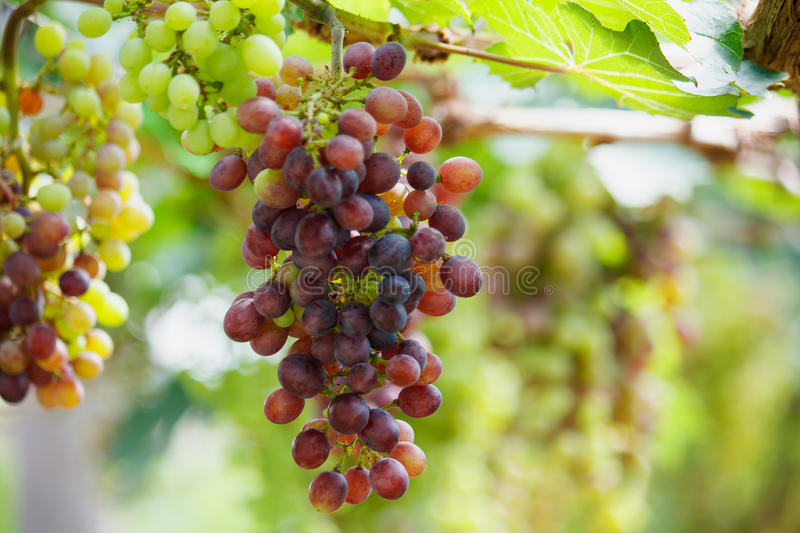 Bunches of red wine grapes hanging on the vine royalty free stock photography