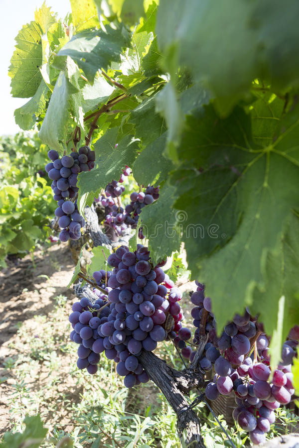 Bunches of red wine grapes hanging on the wine in late afternoon. Sun royalty free stock images