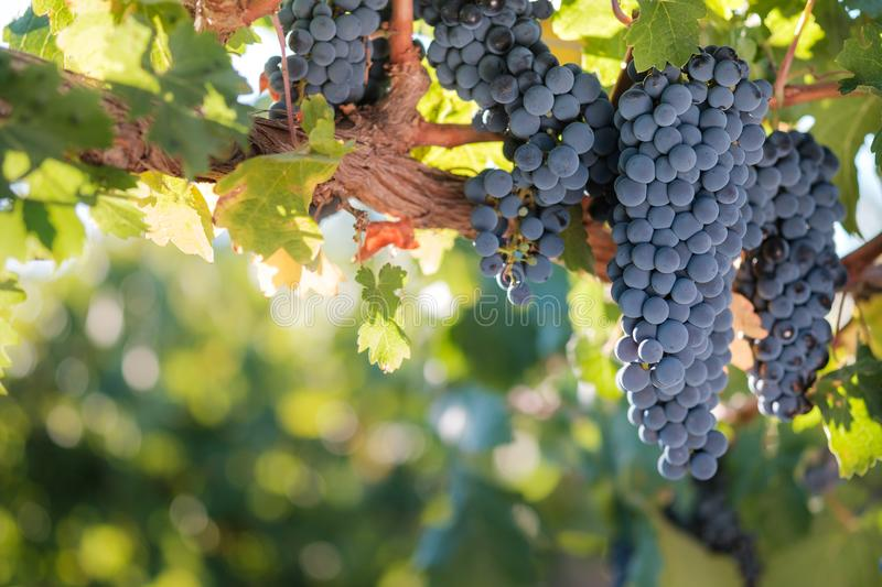 Bunches of red wine grapes on vine royalty free stock image