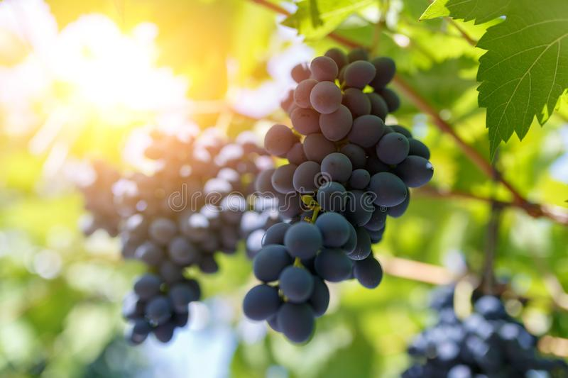 Bunches of ripe, appetizing dark grapes with sun rays at sunset royalty free stock photography