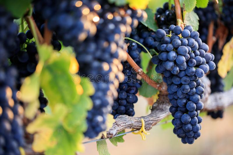 Bunches of ripe black grapes on vine row with selective focus stock image
