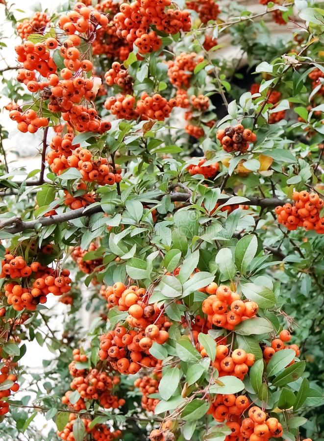 Bunches of ripe red berries of mountain ash. royalty free stock photography