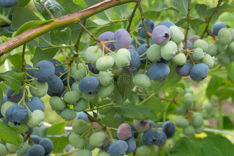Bunches of ripe and unripe blueberry berries on a bush royalty free stock photos