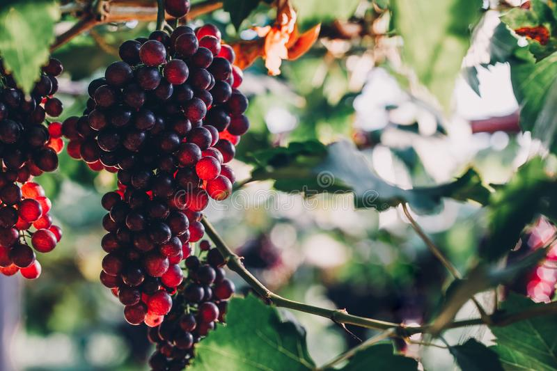 bunches of ripen grape hanging from vines in the farm royalty free stock photos