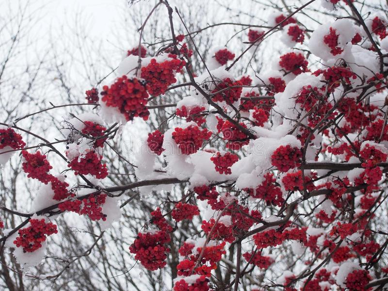 Bunches of Rowan berries under the snow. After snowfall stock photos