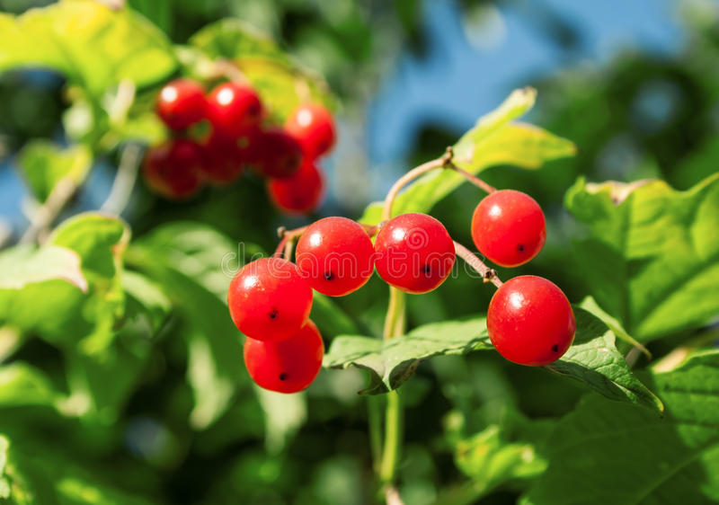 Bunches of viburnum. Ripe bunches of red viburnum on a sunny afternoon stock photography