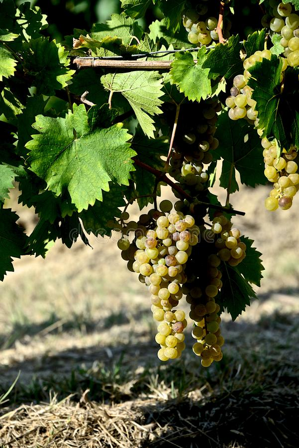 Bunches of white grapes with leaves stock photography