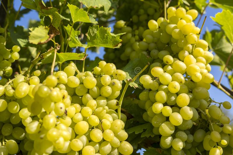 Bunches of white grapes on the vine stock photos