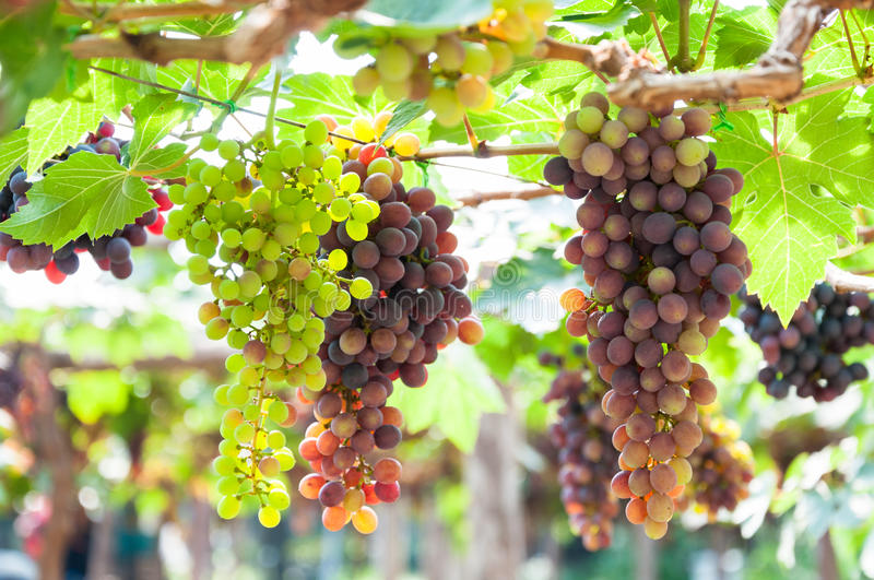 Bunches of wine grapes hanging on the vine with green leaves. In garden stock image