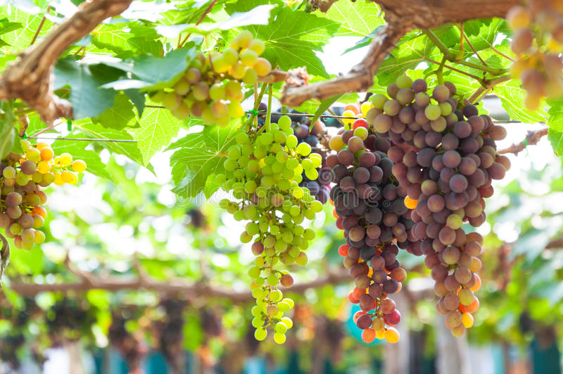 Bunches of wine grapes hanging on the vine with green leaves. In garden royalty free stock image
