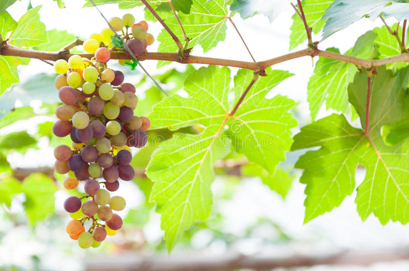 Bunches of wine grapes hanging on the vine with green leaves. In garden stock photo