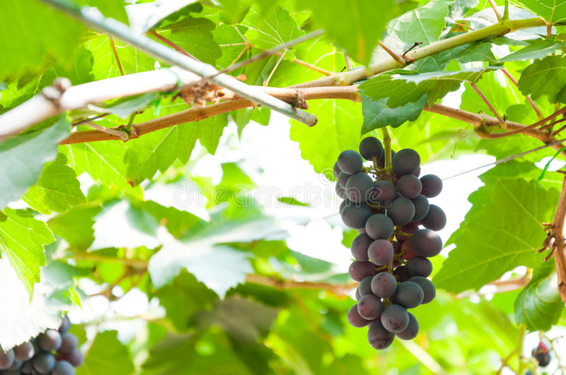 Bunches of wine grapes hanging on the vine with green leaves. In garden royalty free stock images