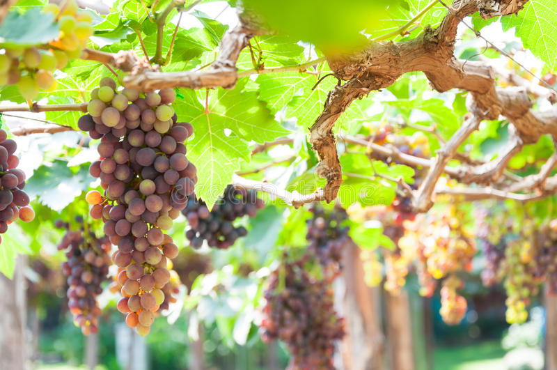 Bunches of wine grapes hanging on the vine with green leaves. In garden stock images