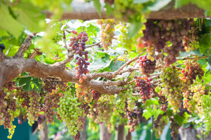 Bunches of wine grapes hanging on the vine with green leaves. In garden royalty free stock photos