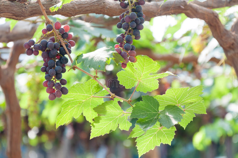 Bunches of wine grapes hanging on the vine with green leaves stock photography