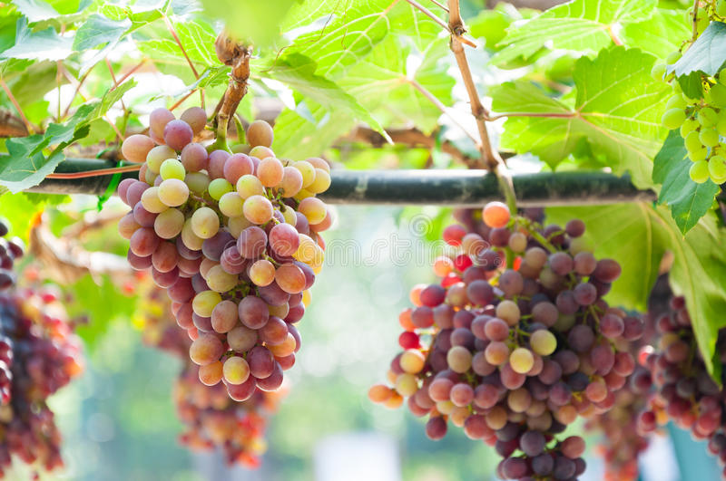 Bunches of wine grapes hanging on the vine with green leaves royalty free stock photography