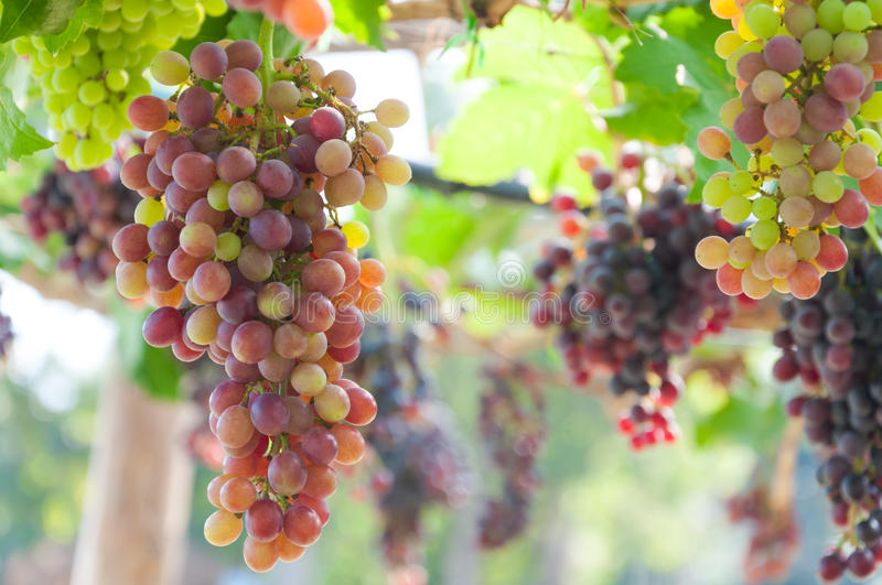 Bunches of wine grapes hanging on the vine with green leaves royalty free stock images