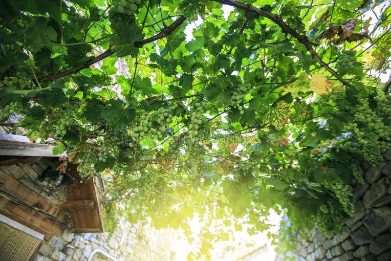 Bunchs das uvas em um nascer do sol fotografia de stock royalty free