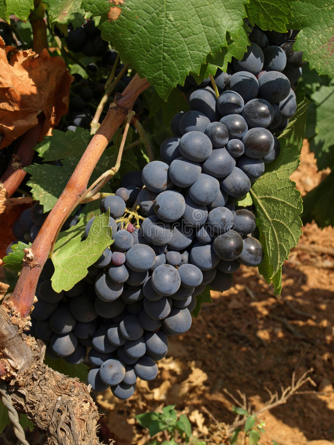 Bunchs of grape. Bunches of grape in a provence vineyard royalty free stock image