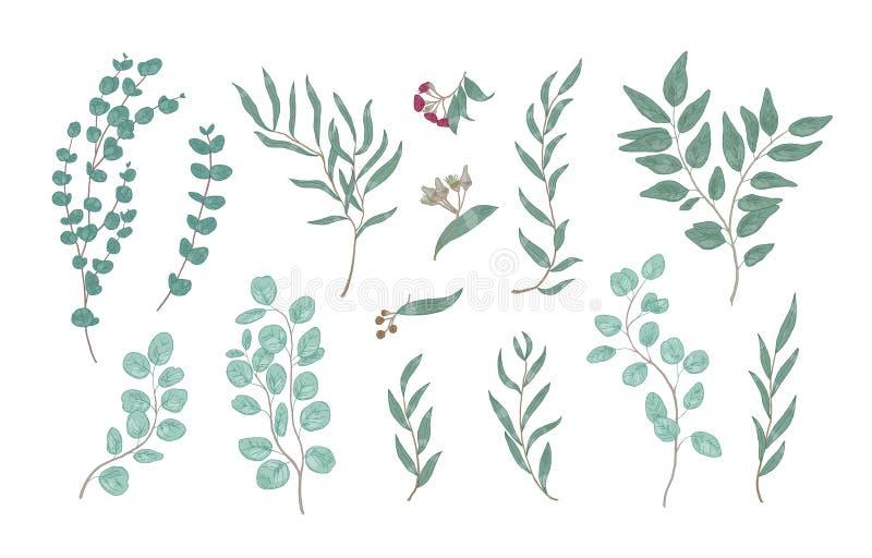Bundel van elegante gedetailleerde tekeningen van diverse eucalyptustakken met groene bladeren Reeks van natuurlijke getrokken ha stock illustratie