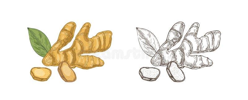 Bundel van kleurrijke en zwart-wit tekeningen van ruwe gemberwortel Eetbaar gewas, organisch superfoodproduct voor gezond royalty-vrije illustratie