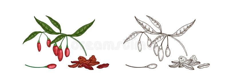 Bundel van kleurrijke en zwart-wit tekeningen van verse en droge gojibessen Natuurlijke organische superfood voor gezond royalty-vrije illustratie