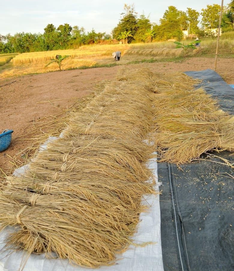 Bundels van rijst na oogst royalty-vrije stock fotografie