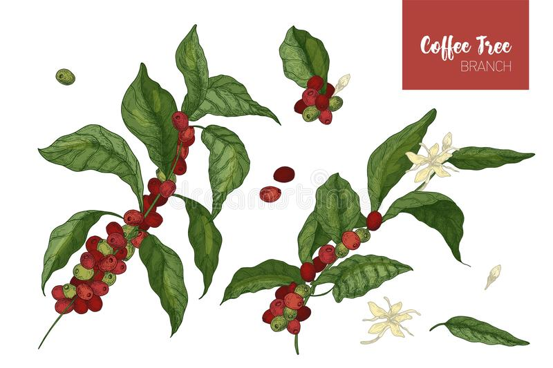 Bundle of botanical drawings of coffea or coffee tree branches with leaves, flowers and ripe fruits isolated on white royalty free illustration
