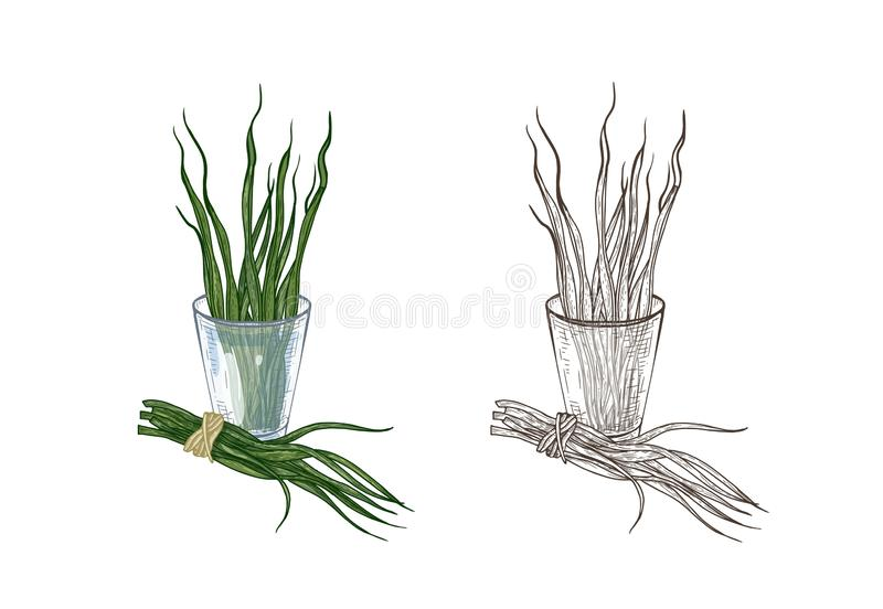 Bundle of colorful and monochrome drawings of spirulina algae in glass. Superfood product, dietary supplement for. Healthy nutrition hand drawn on white royalty free illustration